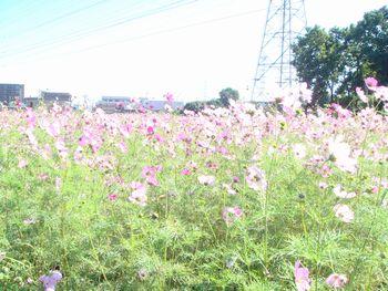 081101コスモス畑1.JPG