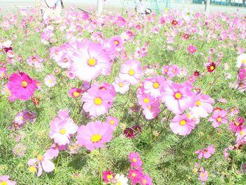 081101コスモス畑2.JPG