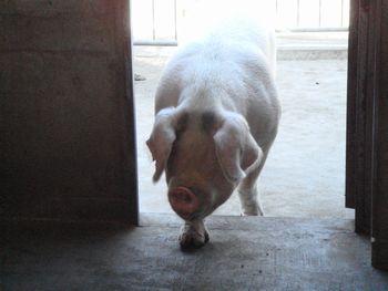 081101親豚.JPG