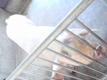 081101親豚2.JPG